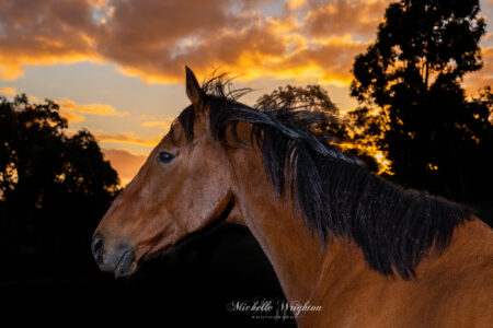 Bay thoroughbred horse and sunset photograph
