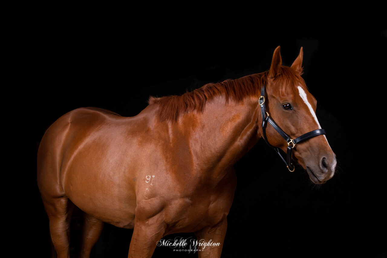 Black background studio lighting chestnut thoroughbred horse photograph