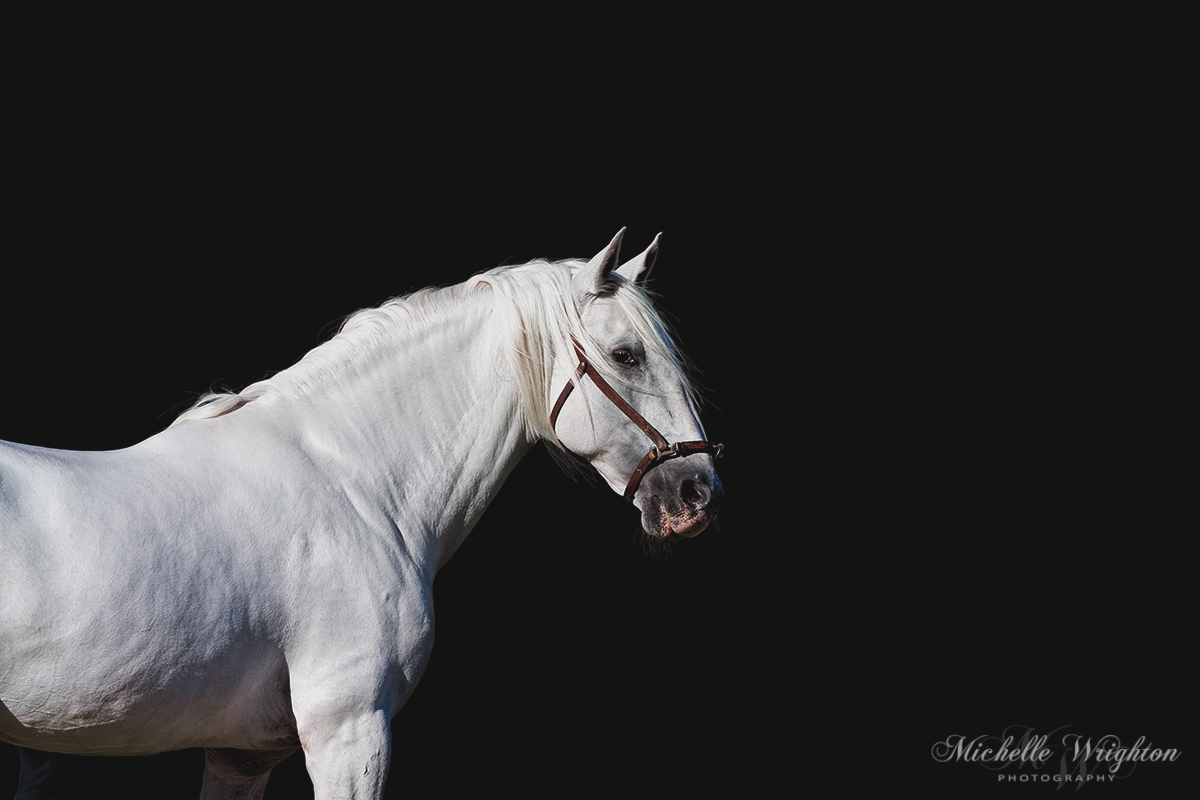 Andalusian stallion black background grey horse photography