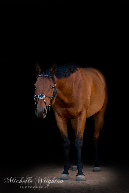 Bay horse black background thoroughbred horse photography