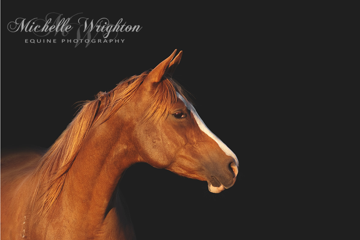 Chestnut Arabian Black background studio horse photography