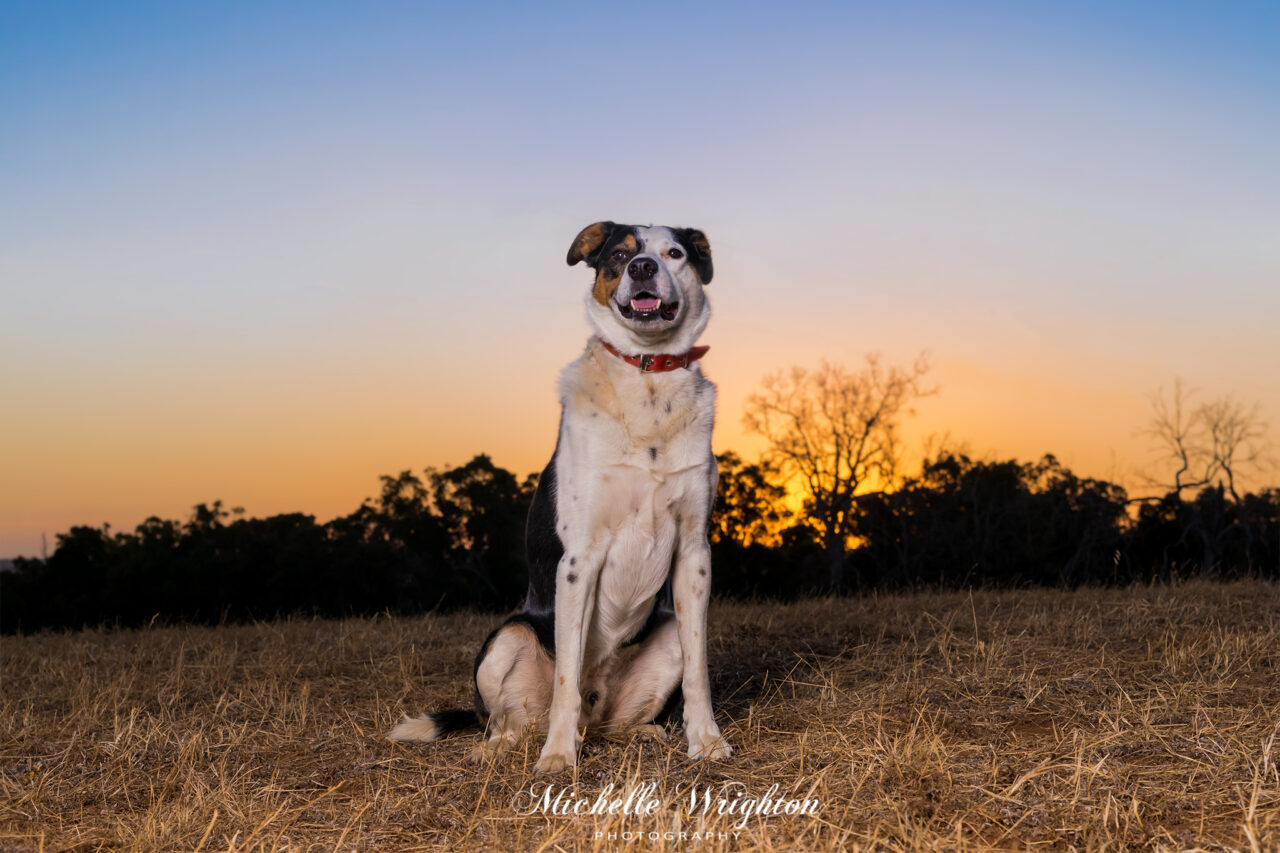 Dog photograph outdoor studio light with colourful sunset
