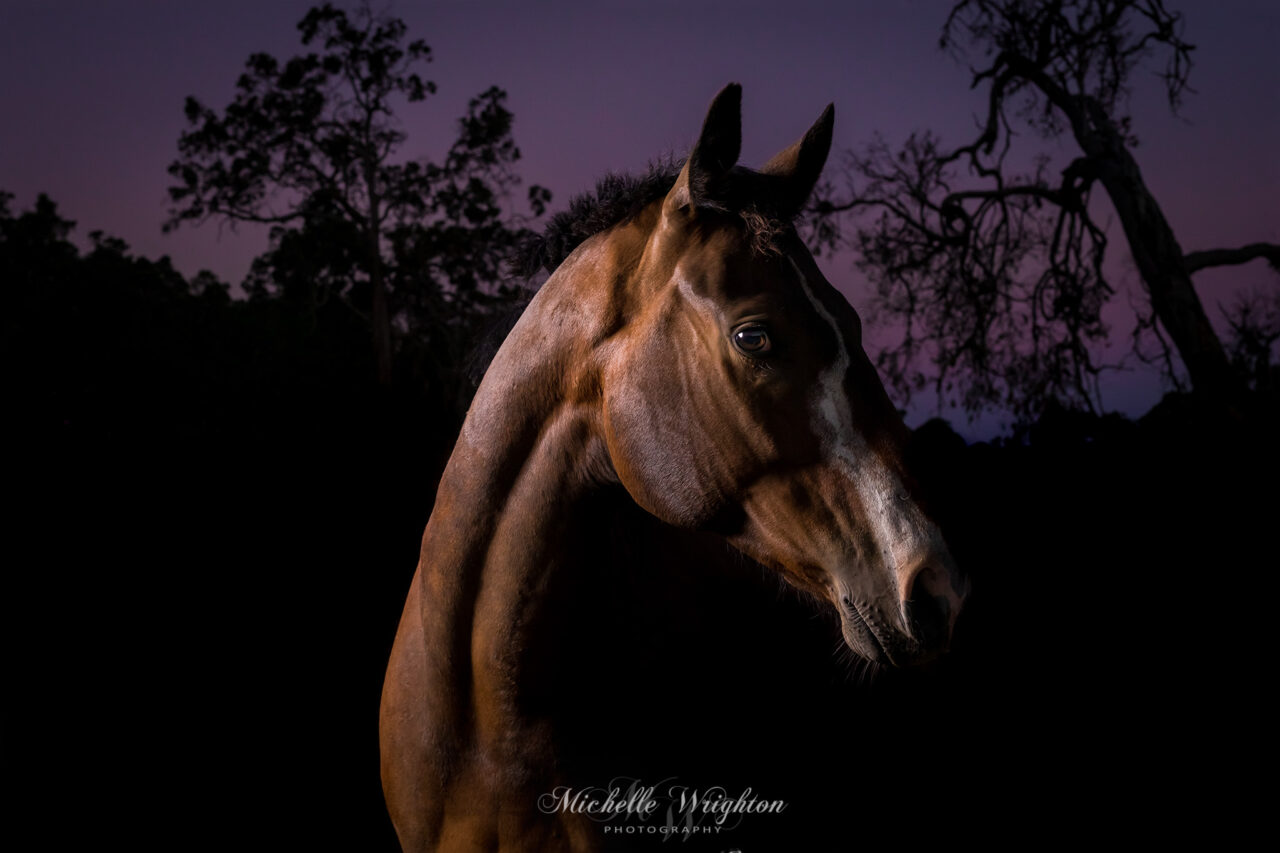 thoroughbred gelding outdoor studio horse photography