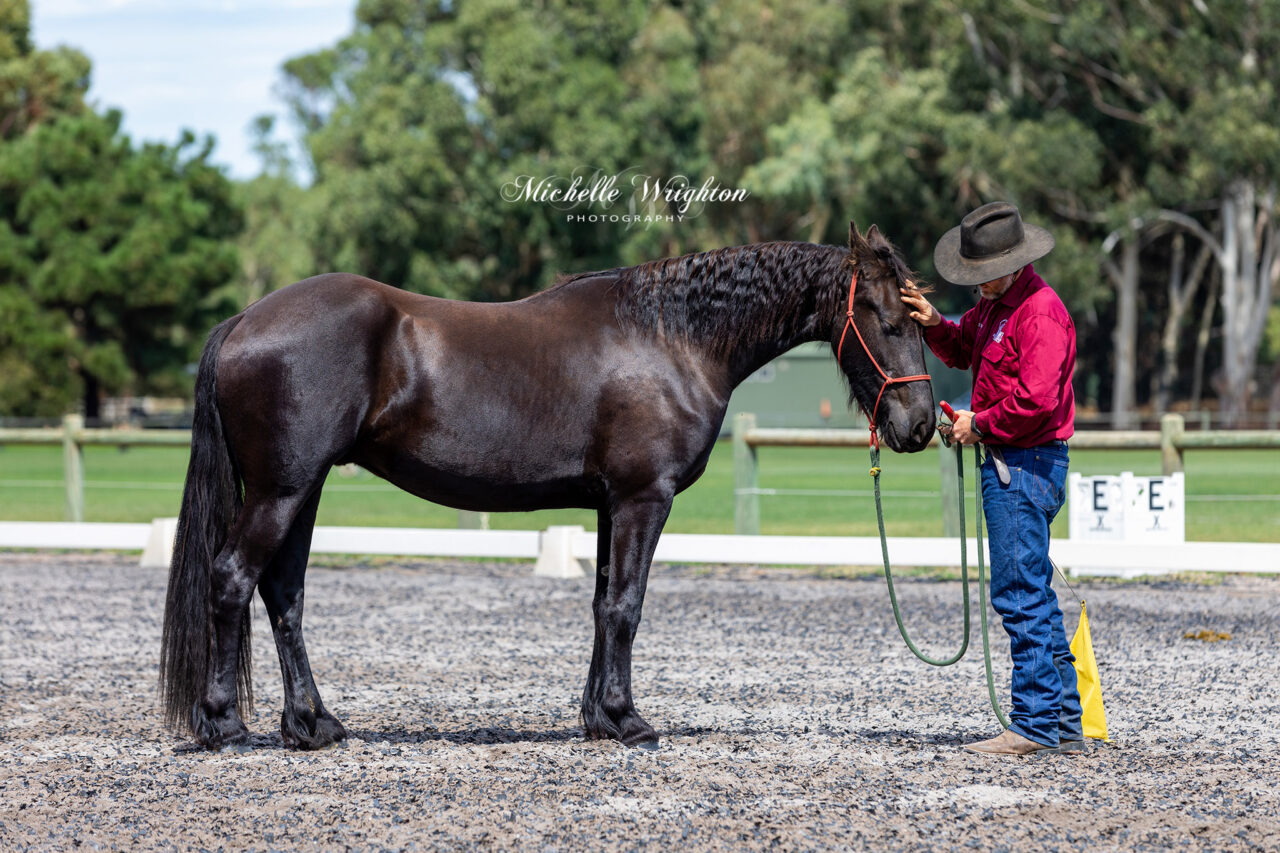 AMT Equestrian services horsemanship display 2019 Western Australia Friesian horse Keuring young horse training display