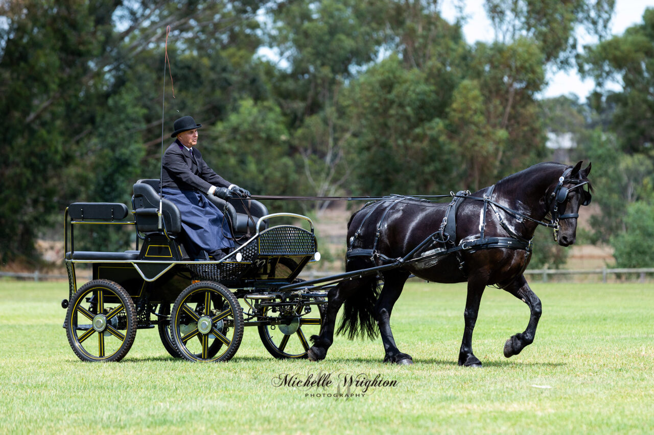 Friesian carriage driving display