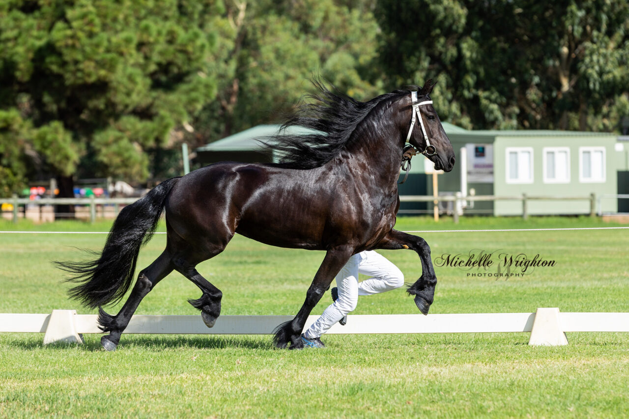 Kendal Park Friesian mare So Special KP at the WA 2019 Keuring