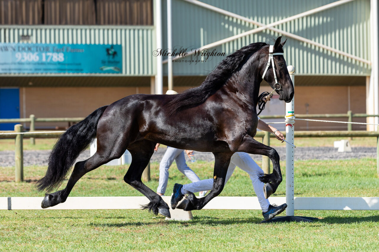 Friesian mare So Special KP at the WA 2019 Keuring
