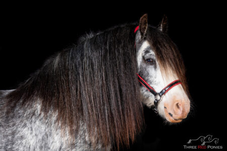 Grey and white horse on black background photograph horse photography Perth