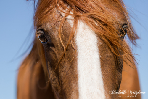 Close up photo of chestnut arabian horse face