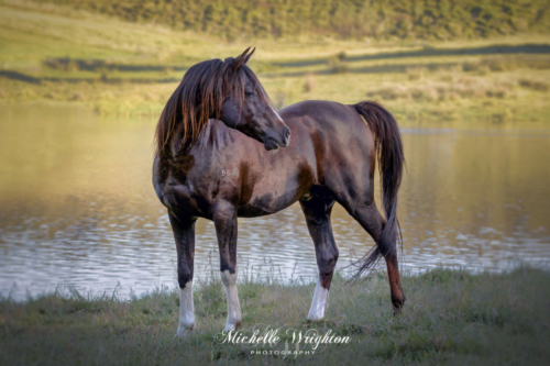 Bay Arabian stallion standing near lake