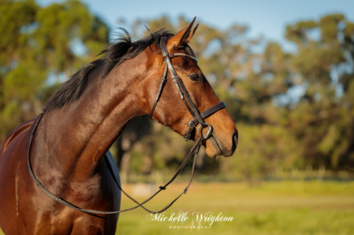 Bay warmblood horse in field