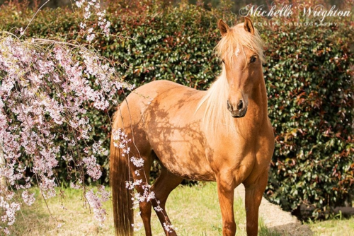 Palomino with pink flowering tree
