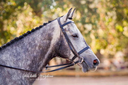 Grey horse portrait photo