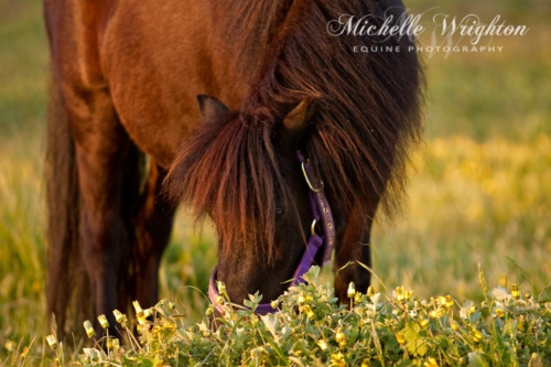 Shetland pony grazing in field of yellow flowers