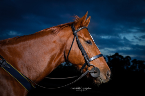 Studio lighting outdoor photograph of chestnut thoroughbred horse after sunset
