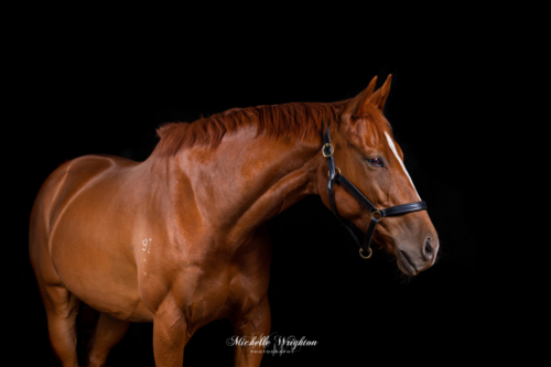 Chestnut thoroughbred horse portrait on black background with studio lighting