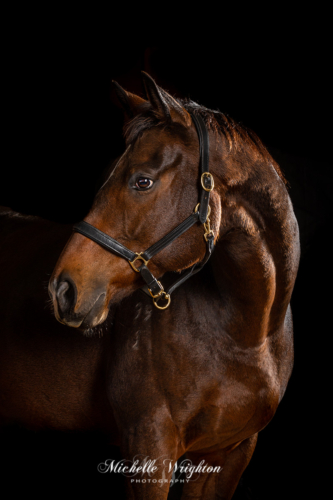 Bay thoroughbred horse studio photograph on a black background