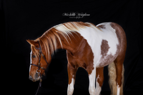 Black background studio lighting photography of a chestnut and white pinto horse