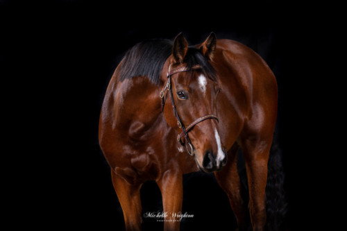 Black background studio photography of a bay horse