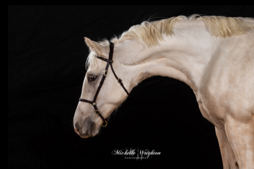 Palomino pony on black background studio light equine photography