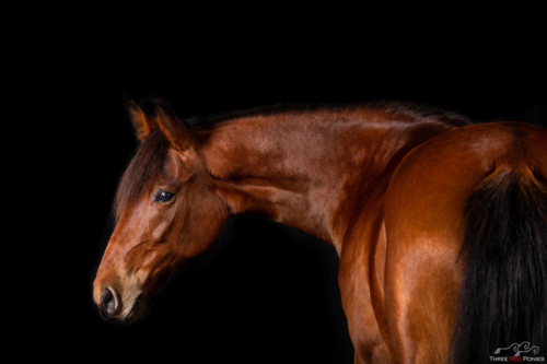 Black background equine studio portrait