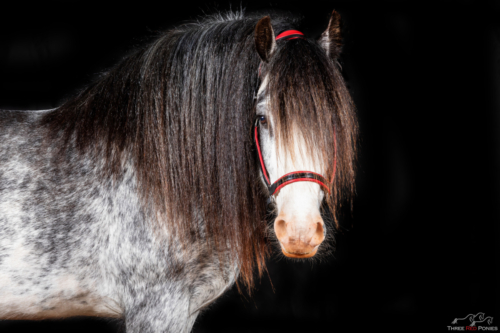 HS The Rocking Horse Colt - Evale Stud Gypsy Cob Stallion