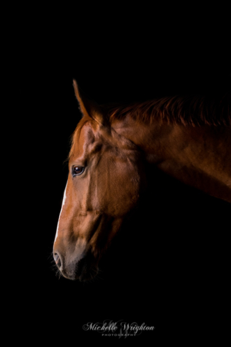 Chestnut horse on a black studio background