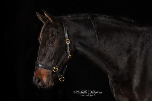 Black Warmblood horse studio portrait photography