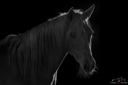 Black and white low key studio horse photography