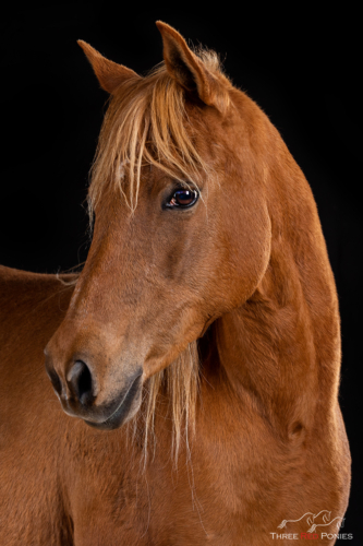 Chestnut pony studio horse portraiture