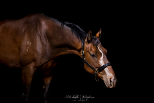 Chestnut horse portrait photo on studio black background photography