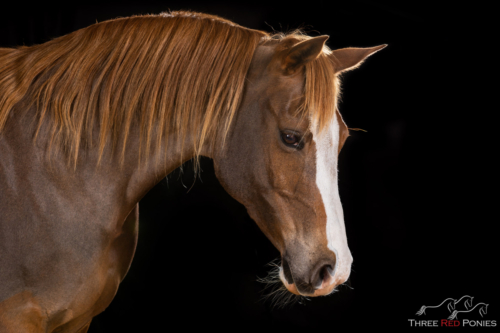 chestnut-arabian-horse-white-blaze-studio-black-background-photography